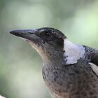 Young Australian Magpie by aussiebushstick