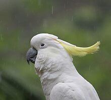 Cockatoo in the Rain by aussiebushstick