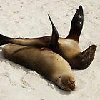 Sea lions sunning  -  Galapagos Isl by john  Lenagan
