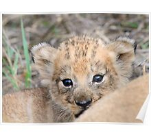 Infant lion cub(mommy what is the big thing looking at us?) Poster