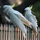 Sulphur Crested Cockatoos  by Margaret Stanton