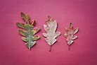 Three Leaves by Bethany Helzer