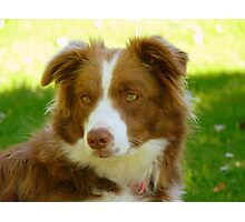 Agility & Intensity Are My Middle Names!! - Border Collie - NZ Photographic Print