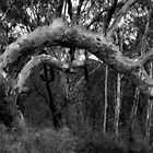 Scary Tree- Kaiser Stuhl Conservation Park by Ben Loveday