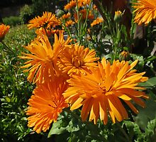 Fiery Beauties - Orange Pot Marigolds by MidnightMelody