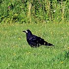 crow on the green by sebmcnulty