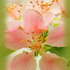 Apple Blossoms in Spring by Caryn Colgan