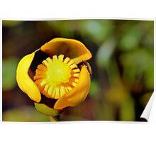 Bullhead Lily Poster