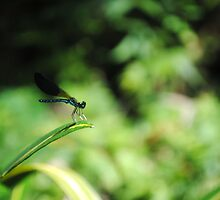 Dragon fly - Davao - Philippines by nikkifdb