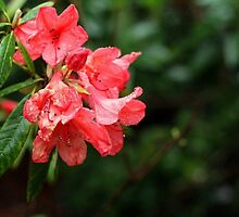 Bright Pink Rhododendron Flowers Caught in the Rain by CecilyH