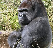 "A gorilla ""Silver Back""  who is the star of the day .... by okaio caillaud olivier"