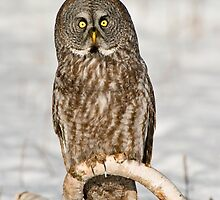 Great Gray Owls by Owl-Images