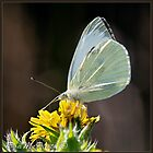 Large White by DonMc