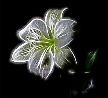 White lily  by franceslewis