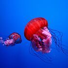 Red Jellies by Asoka