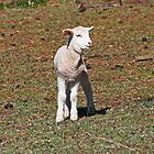 Little Lamb Lost by Evita