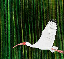 American White Ibis In Flight by Janet Carlson