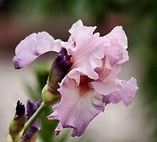 Iris In Bloom by Lori Peters