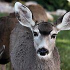 Mule Deer Doe by Lori Peters