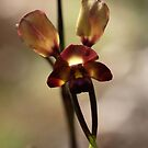Donkey Orchid at Serpentine Falls by kalaryder