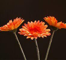 Gerbera orange by franceslewis