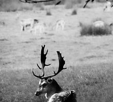 Resting Stag by Michael Carter