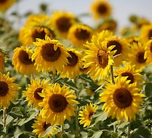 Sunflowers swaying in the wind close to by mrivserg