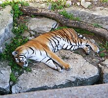 Sleeping Tiger by XxGreenDragonxX