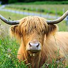Highland Cattle, Scotland by fotosic