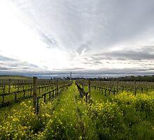 Napa Valley Vineyards by randymir