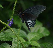 Black Beauty by Lorelle Gromus