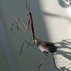 Mantis in Rust by Kenneth Hoffman