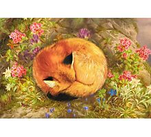 The Cozy Fox Photographic Print