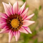 Gazania by Allport Photography