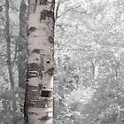 Birch Tree In Forest by Phil Perkins