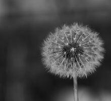 Dandelion 3 by cmthomas