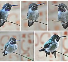 COLLAGE OF MALE HUMMINGBIRD COSTA'S ON YUCCA REED by JAYMILO