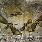 Burnished Brass Moth by garts