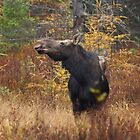 Shy - Canadian Moose - Algonquin Park, Canada by Jim Cumming