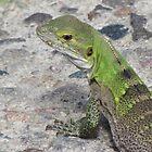 Juvenile Spiny-tailed Iguana by Ingasi