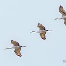 Sandhill Cranes In Flight by jules572