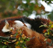 Sleeping Red Panda by GreyFeatherPhot