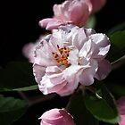 Crabapple Delight by Joy Watson