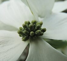 "White ""Dogwood"" or ""Cornus"" by Marilyn Harris"