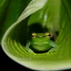 The Pygmy Hatchet-faced tree frog - Leticia - Colombia by john  Lenagan