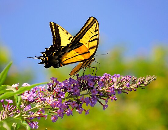 Two-tailed Swallowtail Butterfly by Diana Graves Photography