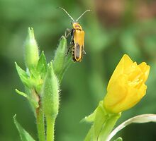 Soldier Beetle on Yellow Wildflowers by Ingasi