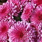 Cheerful Pink Mums by Keala