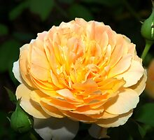 Light orange and yellow rose by ♥⊱ B. Randi Bailey