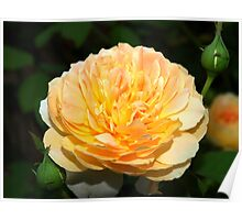 Light orange and yellow rose Poster